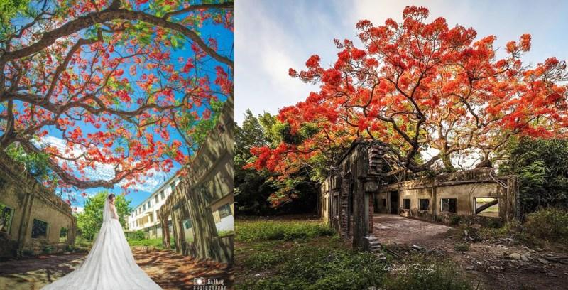 高雄百年鳳凰花爆紅!火紅鳳凰木與廢墟交織成絕美景色!